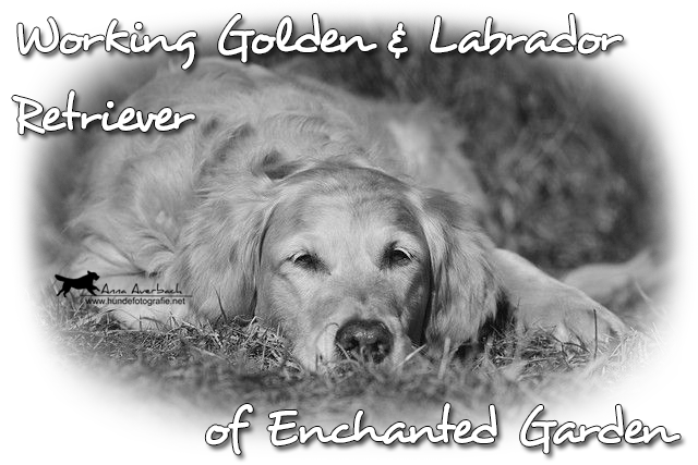 © Working Golden Retriever of Enchanted Garden